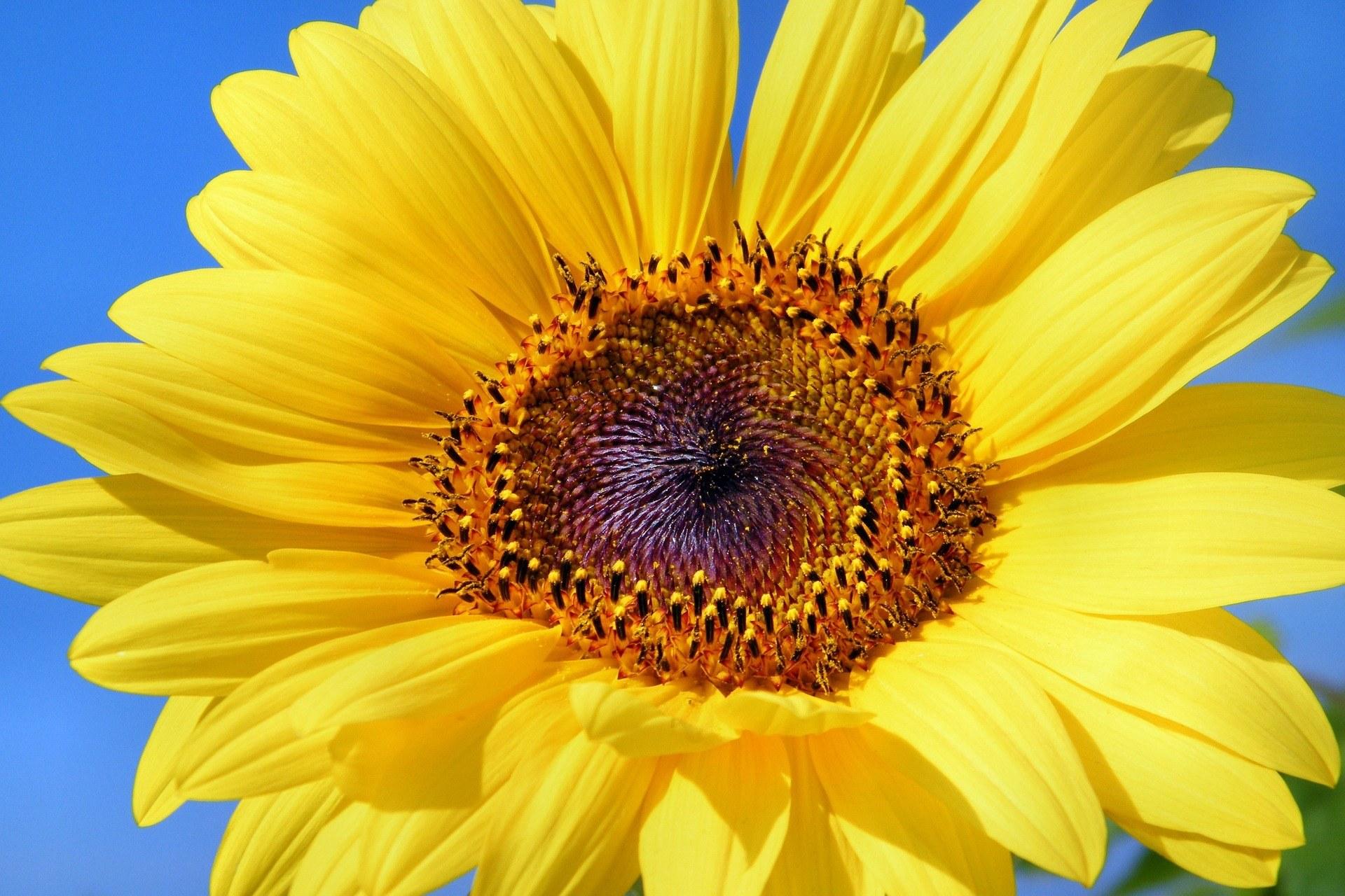 sun-flower-179010_1920